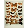 Butterfly Plate XVIII