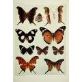 Butterfly Plate XXI