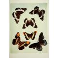 Butterfly Plate XXII