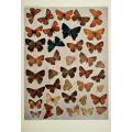 Butterfly Plate XXIX