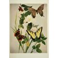 Butterfly Plate XLIII