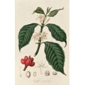 Coffea Arabica 2