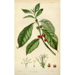 Coffea Arabica 3