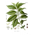 Coffea Arabica 1