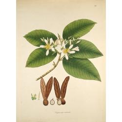 Dipterocarpus Turbinatus