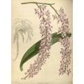 Aerides Lobb Orchid