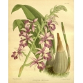 Vintage Orchid Illustrations
