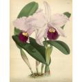 Cattleya Triane Orchid