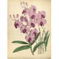 Dendrobium Bigibbum Orchid