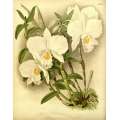 Dendrobium Infundibulum Orchid