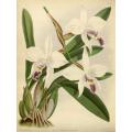 Laelia Anceps Dawson Orchid